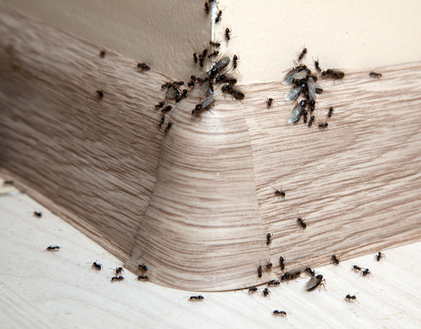 ants crawling on a kitchen floor, wall and base board molding