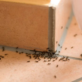 Small black ants crawling on a counter top.  Image used for ant control treatment by Bugg Control company.