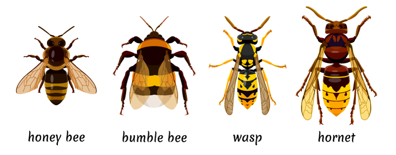 drawing of a bee, a hornet, and a wasp