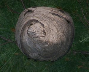 Hornet's Nest in a Pine Tree
