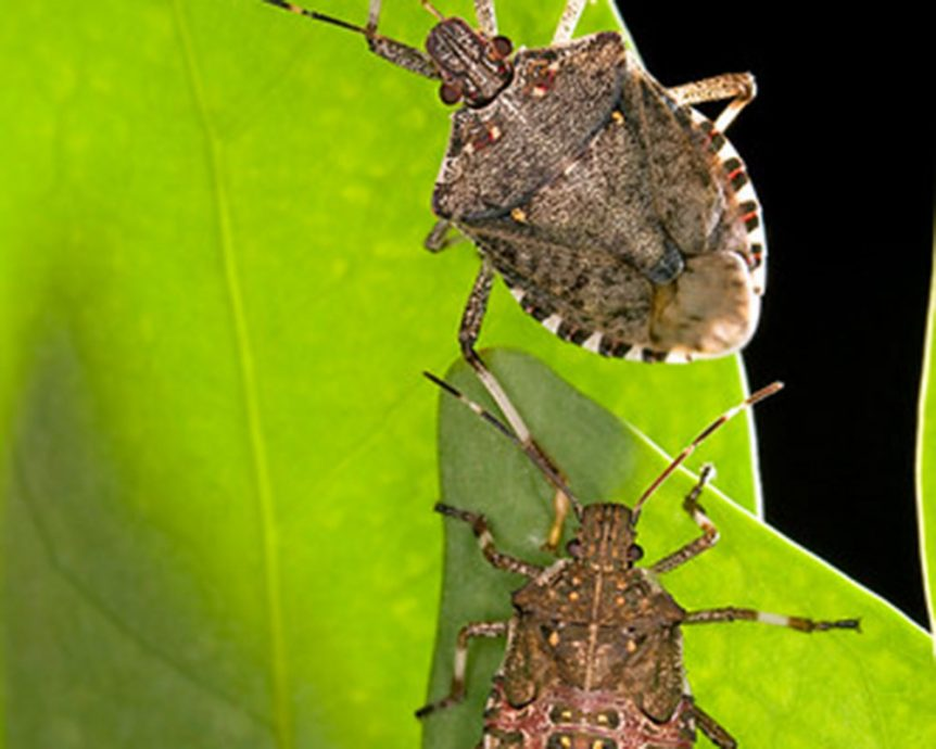 two stink bugs on a leaf
